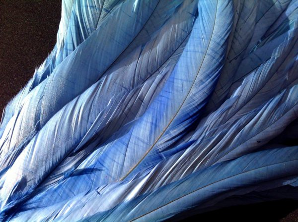 Cornflower Blue Rooster Feathers