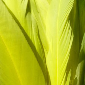 Flo Yellow Rooster Feathers