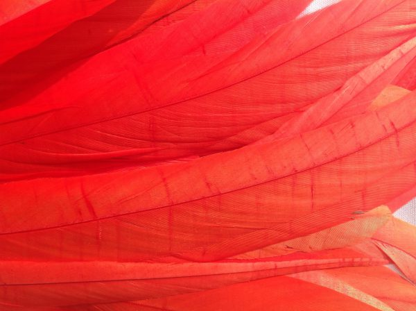 Coral Red Rooster Feathers
