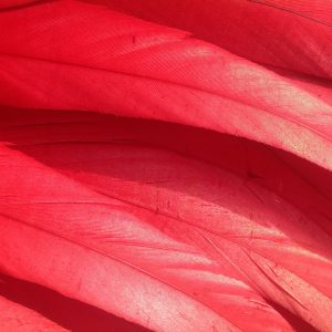 Scarlet Red Rooster Feathers