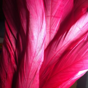 Warm Pink Rooster Feathers